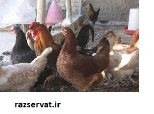 پرورش مرغ بومی