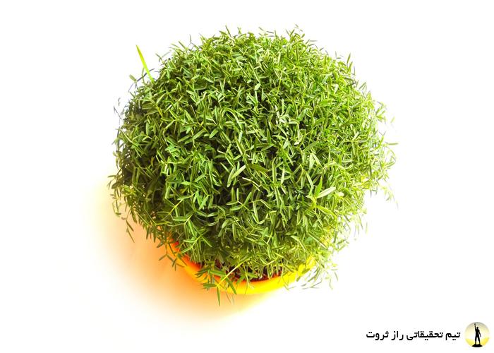 چطور سبزه عید بکاریم