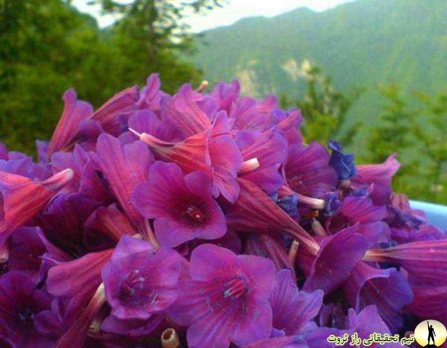 خواص گل گاو زبان چیست؟