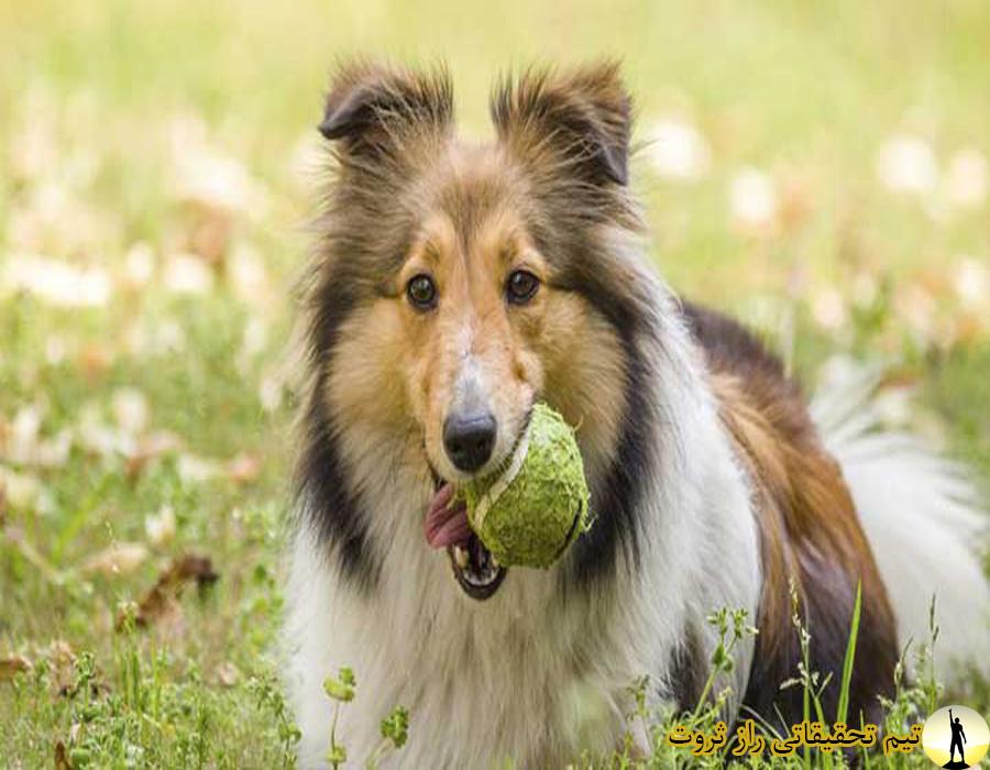 باهوش ترین نژاد سگ ها و ویژگی هایشان